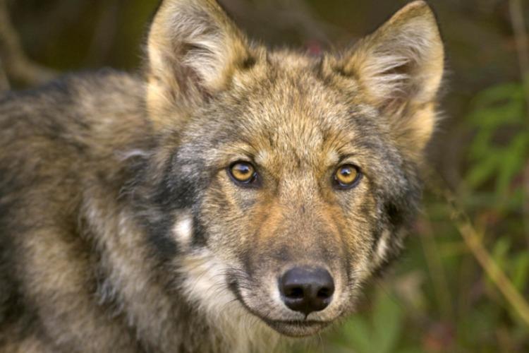 В Саратовской области будут отстреливать и отлавливать волков