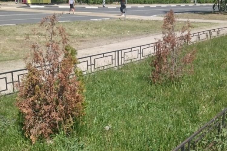 Либо поливайте, либо сажайте засухоустойчивые! Балаковцы сокрушаются по высохшим деревьям