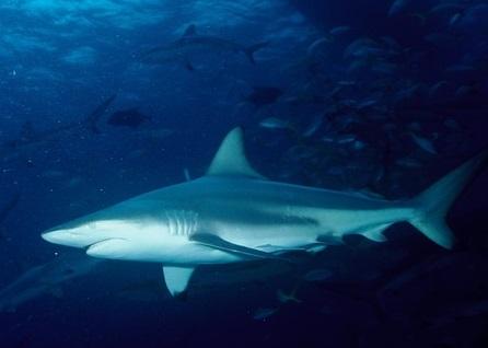 В США ученые сделали открытие благодаря зубу акулы, который 25 лет находился в ноге серфера