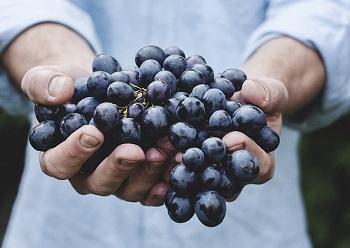 Фермеры Грузии: запрет авиасообщения с РФ резко сократит сбыт урожая винограда